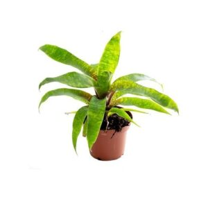 Vriesea ospinae