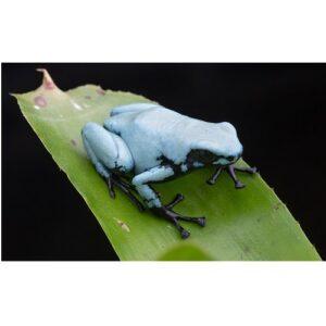 """Adelphobates galactonotus """"blau"""""""