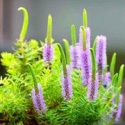 Pogostemon erectus Indische Sternpflanze