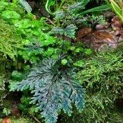 Selaginella erythropus