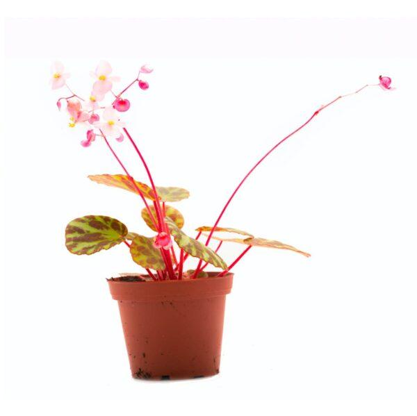 Begonia gironellae