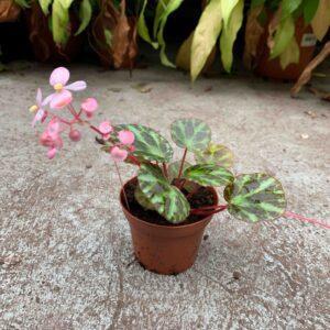 Begonia gironellae flowering