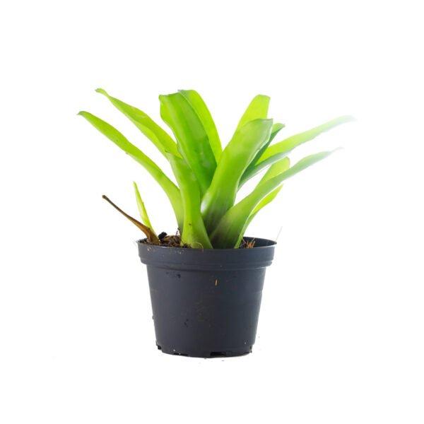 Neoregelia fireball green grün