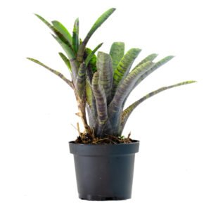 Neoregelia rubrifolia var. rubra