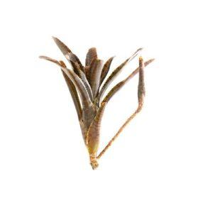Neoregelia ampullacea var rubra