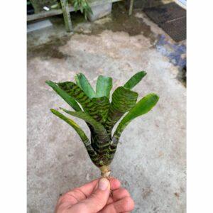 Neoregelia punctatissima var. Wide Leaf