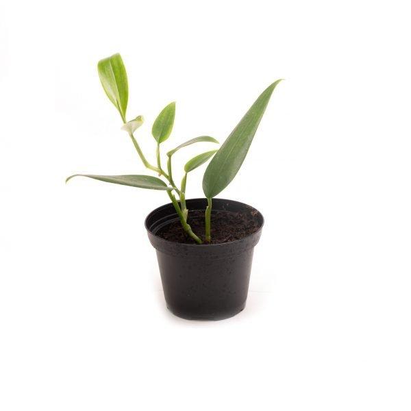 Philodendron spec. Kolumbien
