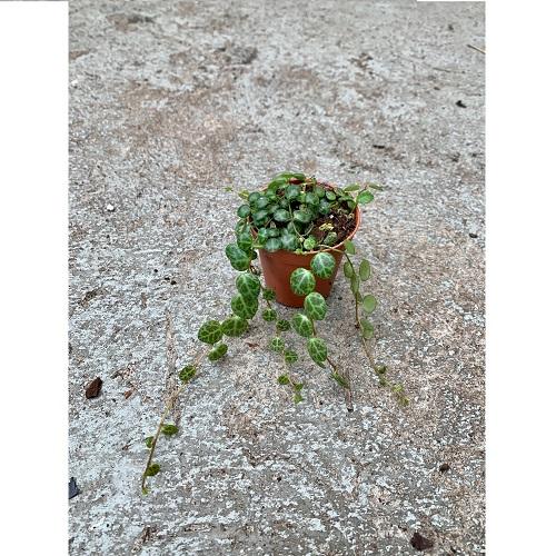 Peperomia prostrata im Topf