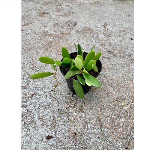 Pyrrosia piloselloides im Topf